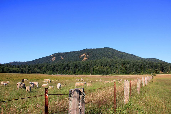 Coffelt Farm with sheep and Turtleback Mountain