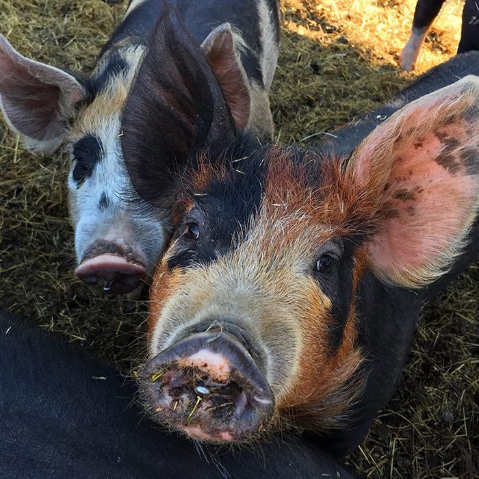 Two pigs looking at the camera