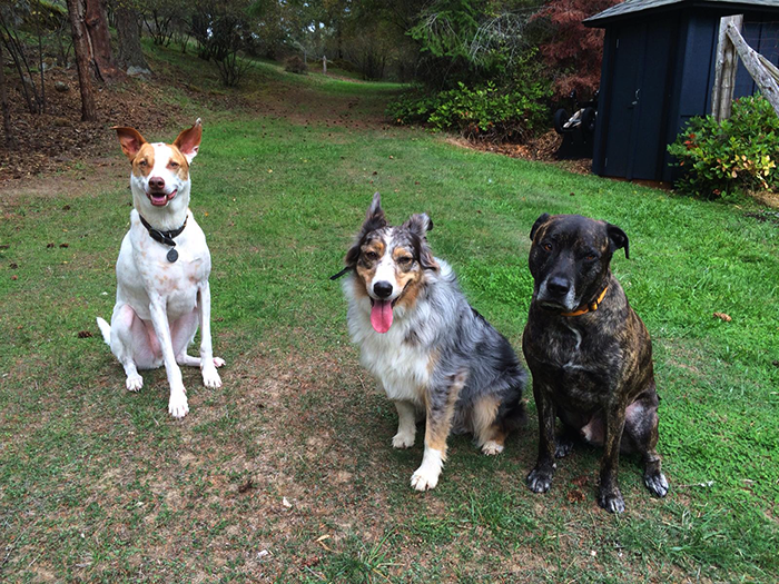 Three dogs looking at the camera